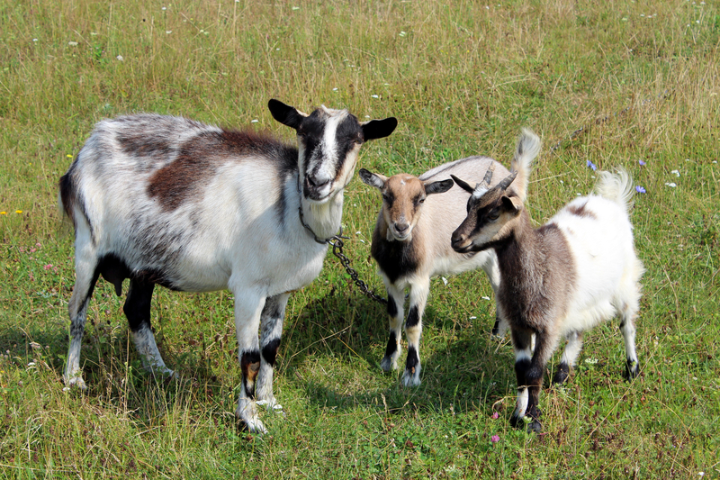 13 Reasons never to drink goat's milk
