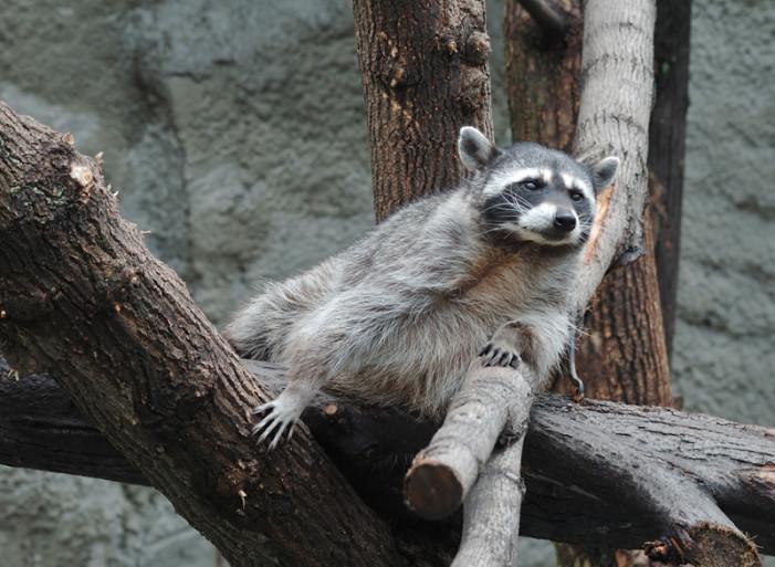 Baby Raccoons get Wet and Wild – Cape Wildlife Center