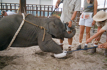 Ringling's Baby Elephants Tied Up and Electro-Shocked by Trainers