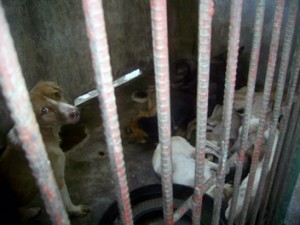MANILALA 300x225 Stray Dogs executed at the Bacolod City Dog Pound