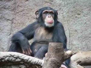 Schimpanse zoo leipig 300x225 Schimpanse zoo leipig.jpg