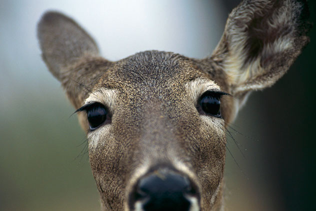 deera Bowhunters are killing deers