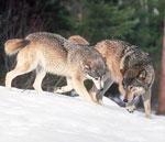 Alaska Wolves