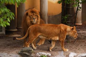 lions 300x200 lions.png