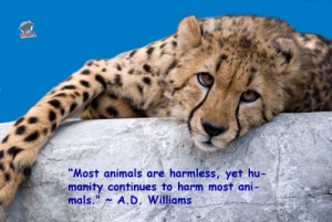 cheetah1 300x201 Animals are harmless