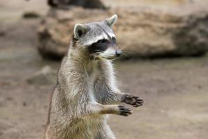 000202 0025 000763 300x200 Raccoon