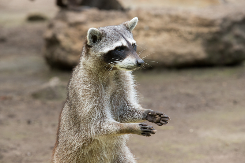 Living in harmony with raccoons