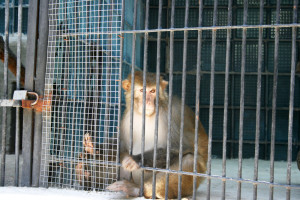 animals img 9339 1 300x200 Monkey in cage
